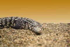 Big lizard Stock Image