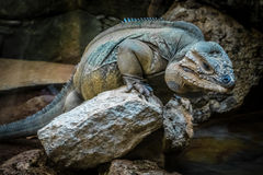 Big lizard on a rock Royalty Free Stock Image