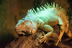 Big lizard sits on a branch. Close-up royalty free stock image