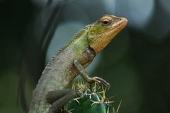 A big lizard sitting on a cactus. And looking wildlife stock photography