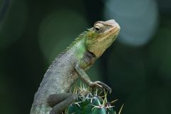 A big lizard sitting on a cactus. And looking wildlife stock photos