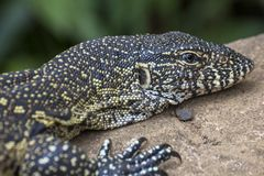 Big lizard on stone in St. Lucia South Africa. Big lizard on stone in St. Lucia, South Africa stock photo
