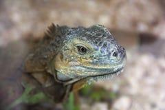 Big lizard in terrarium royalty free stock photos