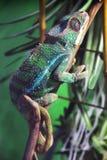 Big lizard in terrarium stock images