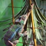 Big lizard in terrarium stock photos