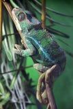 Big lizard in terrarium stock photo