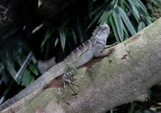 Big Lizard on a tree trunk. A big lizard relaxing in the sunshine royalty free stock photography