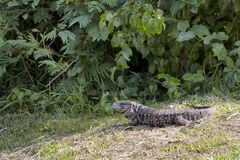 Big lizard in tropical forest in Iguazú National Park. A big lizard is moving in a tropical forrest looking for food stock photo