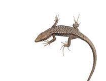 A big Lizard Stock Photo