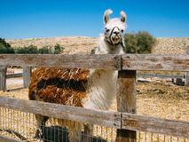 A big Llama in the alpaca farm Stock Photography