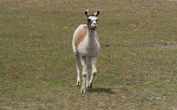 Big llama on a country safari farm Stock Photography