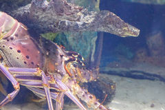 Big lobster is hiding behind a rock. Taken in an aquarium Royalty Free Stock Photo