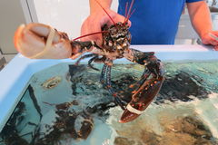 Big lobster - omar. Fresh lobster from Adriatic sea at the fish shop in Bar-city, Montenegro Stock Photos