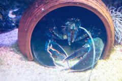 Big lobster peeping out of jug under water. stock photography