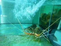 Big lobsters. In the small aquarium at a restaurant in Bali Beach Royalty Free Stock Images