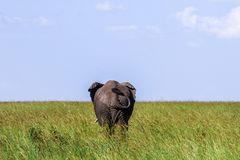 Big lonely elephant shows the on the savannah in Serengeti royalty free stock photos