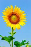 Big lonely sunflowe Royalty Free Stock Photos