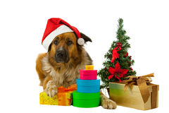 Big long-haired dog whit his christmas presents Stock Image