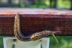 Big long snail Stock Photos
