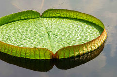 Big lotus leaf. A big lotus leaf on water in china park Stock Photo