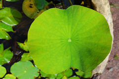Big Lotus leaf. Big green lotus leaf in water stock photography