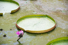 The big lotus leaf Royalty Free Stock Photos