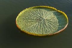 Big lotus leaf Royalty Free Stock Images