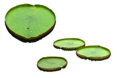 Big lotus leafs isolated on white background. Royalty Free Stock Image