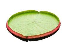 The big lotus leafs. Royalty Free Stock Photo