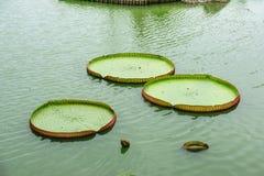 The big lotus leafs. Stock Photos
