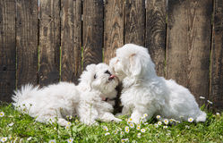 Big love: two baby dogs - Coton de Tulear puppies - kissing with Royalty Free Stock Images