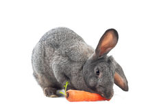 Big lunch. Image of rabbit is eating carrot over white Stock Images