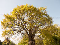 Big lush tree outside in sun light with leaves Royalty Free Stock Photos
