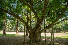 Big lush tree with roots growing down to support the branches in public park on sunny days. Beautiful big lush tree with roots growing down to support the stock photos