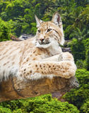 Big lynx. Against the wood Royalty Free Stock Image