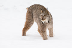 Big lynx in snow Royalty Free Stock Image