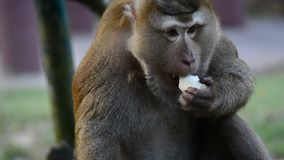 Big Macaque Monkey eat fruit. macaque monkey close up video stock video