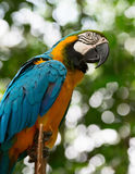 Big macaw parrot in nature Royalty Free Stock Photos