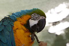 Big macaw bird parrot (Ara ararauna) Royalty Free Stock Images