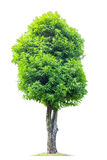 Big magnolia denudata tree Royalty Free Stock Image