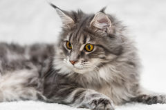 Big maine coon cat posing on white background fur Royalty Free Stock Photos