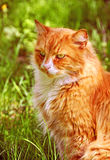 Big Maine Coon cat sitting in green grass Royalty Free Stock Image