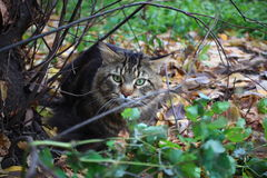 Big maine coon cat under tree in the autumn forest Stock Image