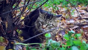 Big maine coon cat under the tree in the autumn stock footage