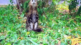 Big maine coon cat under the tree in the autumn stock video footage