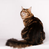 Big mainecoon tabby brown color on white Royalty Free Stock Photo