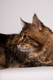 Big mainecoon tabby brown color on white Stock Images