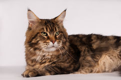 Big mainecoon tabby brown color on white Royalty Free Stock Photography