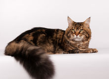 Big mainecoon tabby brown color on white Royalty Free Stock Images