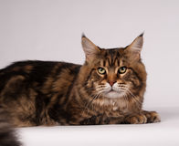 Big mainecoon tabby brown color on white Stock Photo